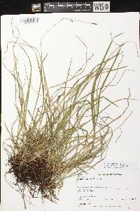 Carex vaginata image