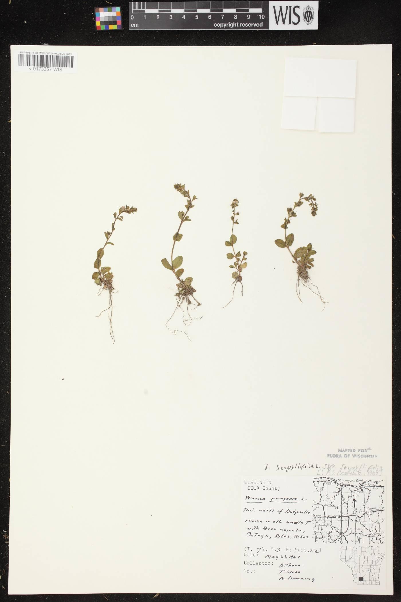 Veronica serpyllifolia subsp. serpyllifolia image