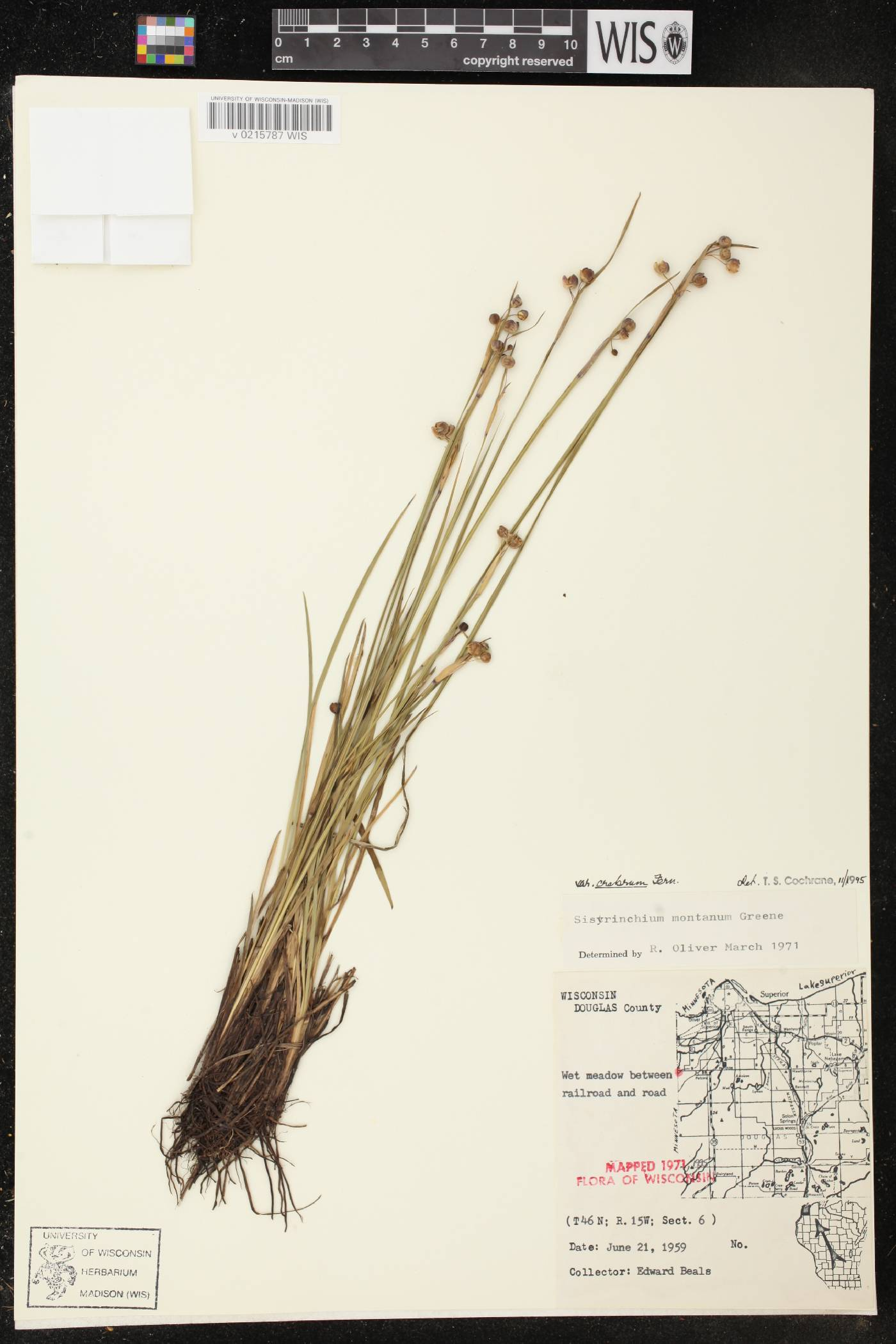 Sisyrinchium montanum var. crebrum image