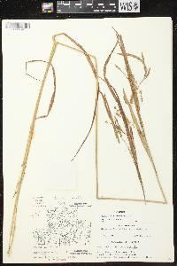 Carex crinita var. crinita image