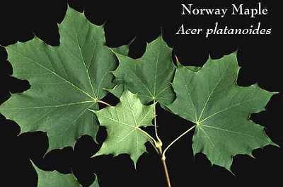 Sapindaceae image