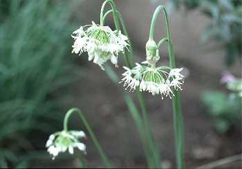 Allium image