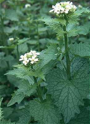 Alliaria image