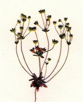 Primulaceae image