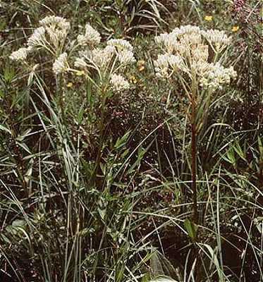 Arnoglossum image