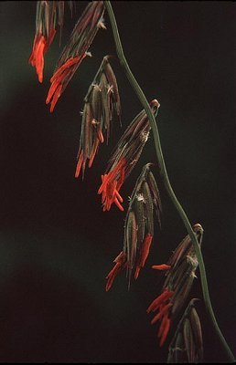 Bouteloua curtipendula var. curtipendula image