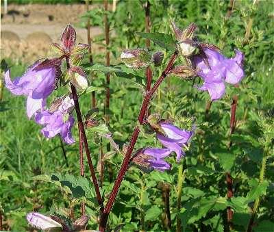 Campanulaceae image