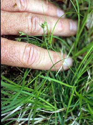 Carex deflexa var. deflexa image