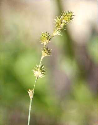 Image of Carex normalis