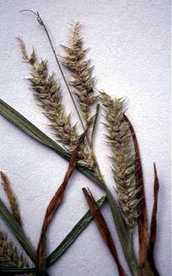 Carex schweinitzii image