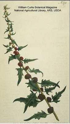 Chenopodium foliosum image