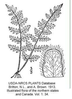 Pteridaceae image