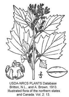 Amaranthaceae image