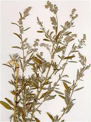 Chenopodium image