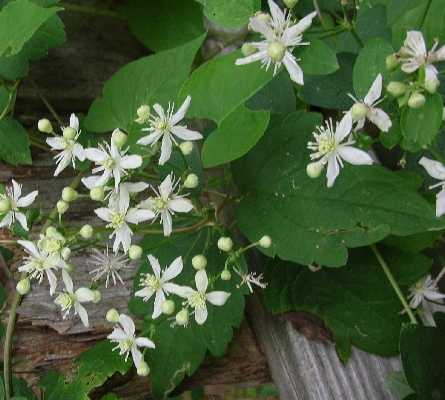 Clematis image