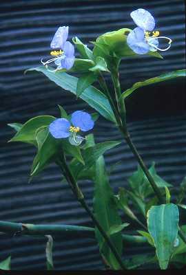 Commelina erecta var. deamiana image