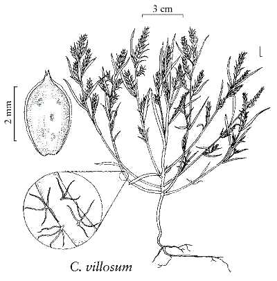Corispermum image