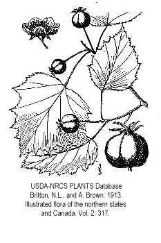 Crataegus coccinioides image
