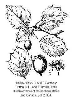 Crataegus X lucorum image