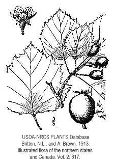 Crataegus coccinea image