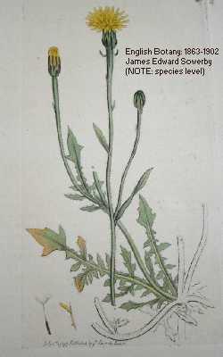 Crepis foetida image