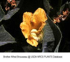 Cucurbitaceae image
