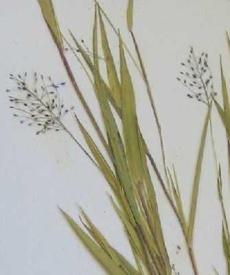 Dichanthelium acuminatum X D. boreale image