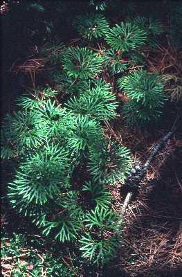 Lycopodiaceae image