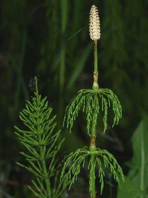 Equisetaceae image