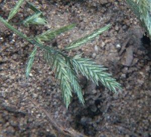 Eragrostis image