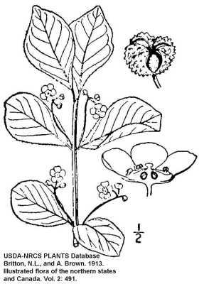 Euonymus image