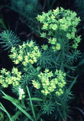 Euphorbia cyparissias image