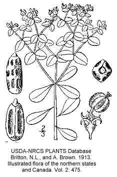 Euphorbia image