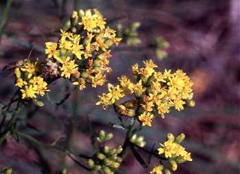 Euthamia image
