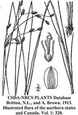 Fimbristylis puberula image