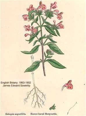Galeopsis ladanum var. angustifolia image