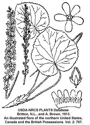 Galax urceolata image