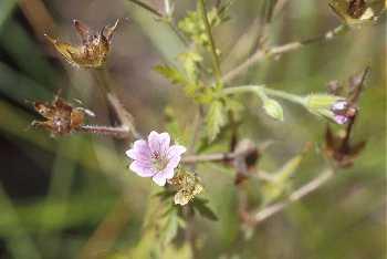 Geranium bicknellii var. bicknellii image