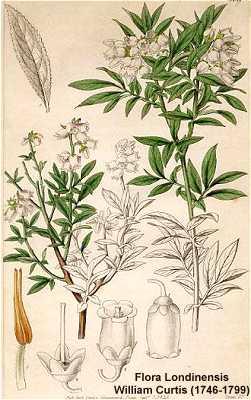 Gilia achilleifolia subsp. multicaulis image