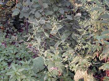 Hackelia deflexa image