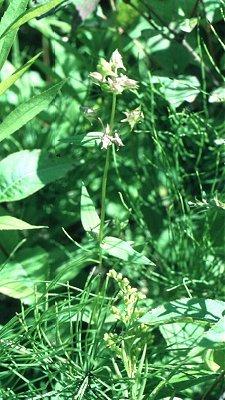 Halenia deflexa subsp. deflexa image