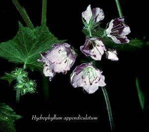 Boraginaceae image