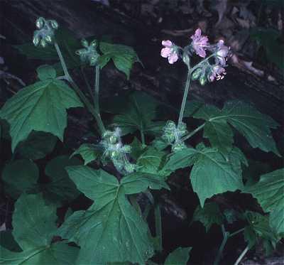 Hydrophyllum image