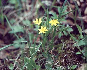 Hypoxidaceae image