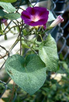 Convolvulaceae image