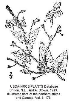 Plantaginaceae image