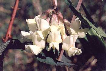 Lathyrus image
