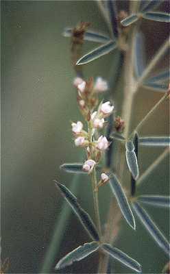 Lespedeza leptostachya image