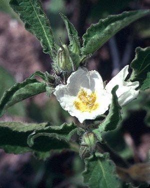 Leucophysalis grandiflora image