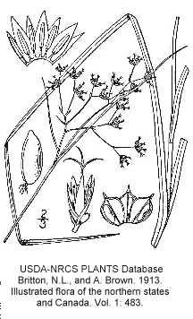 Luzula image